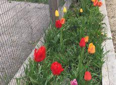 Garden Tulips Photo